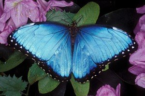 papillon-bleu-cceb1a-300x199 dans Cancer du rein