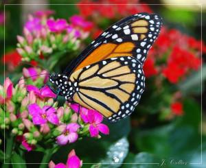 Une avancée significative dans Cancer du rein papillon-color%C3%A9-41-300x245